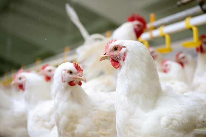 Pollastre Groc Català - Pagès de Rofes - Escorxador d'aviram i conill