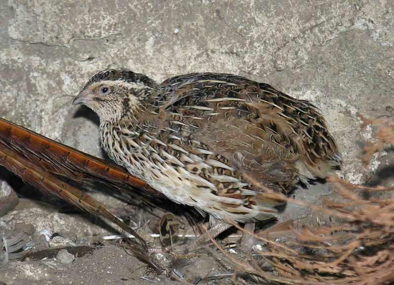 Guatlles - Pagès de Rofes - Escorxador d'aviram i conill