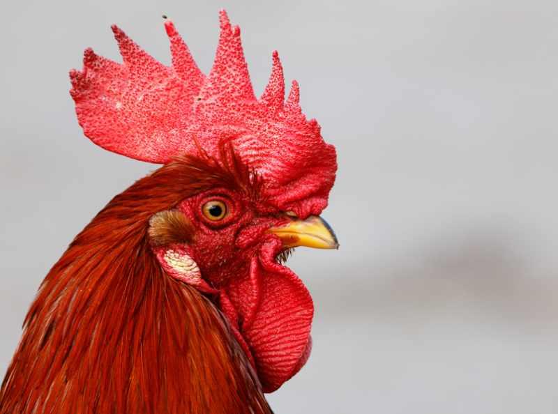 Pollastre de Pagès - Pagès de Rofes - Escorxador d'aviram i conill