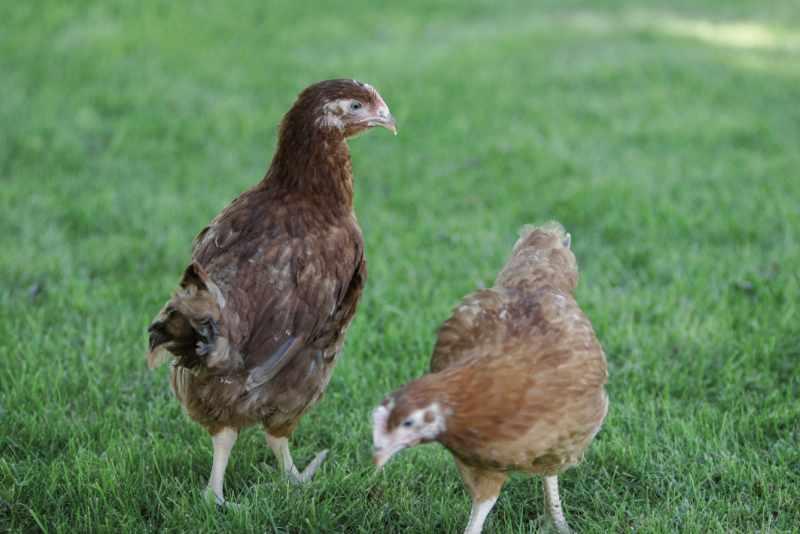 Picantons - Pagès de Rofes - Escorxador d'aviram i conill