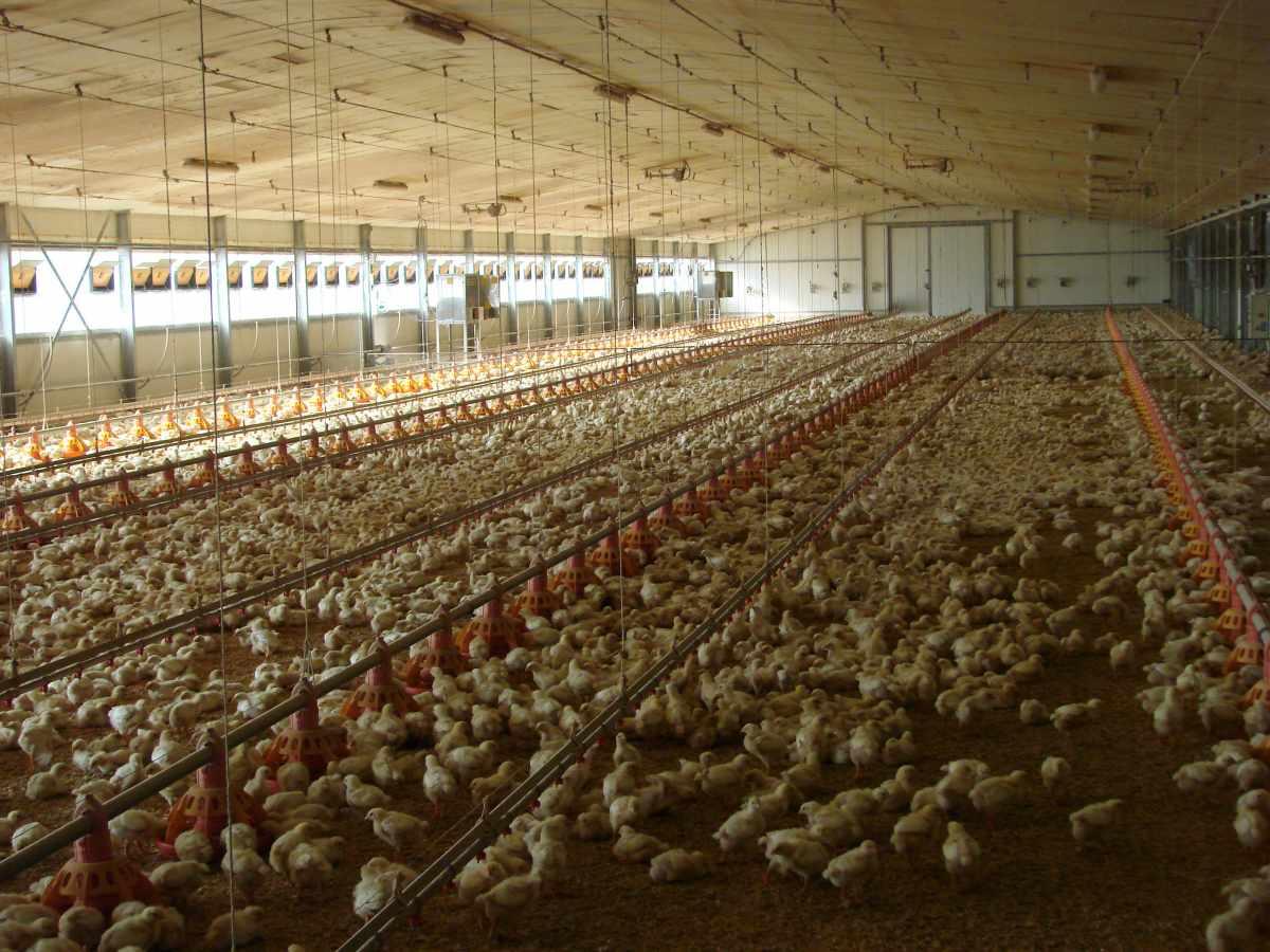 Granges pròpies de pollastres - Pagès de Rofes - Escorxador d'aviram i conill